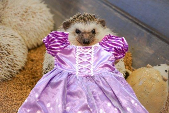 ディズニープリンセスドレスを着たハリネズミ